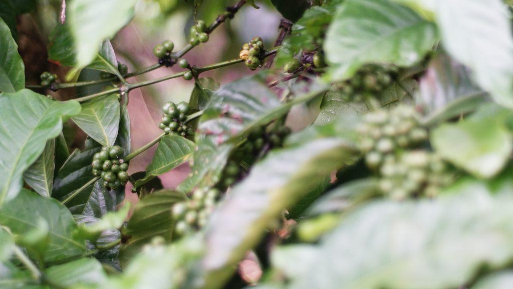 coffee robusta kopi jujur kopi asli tanpa campuran essens