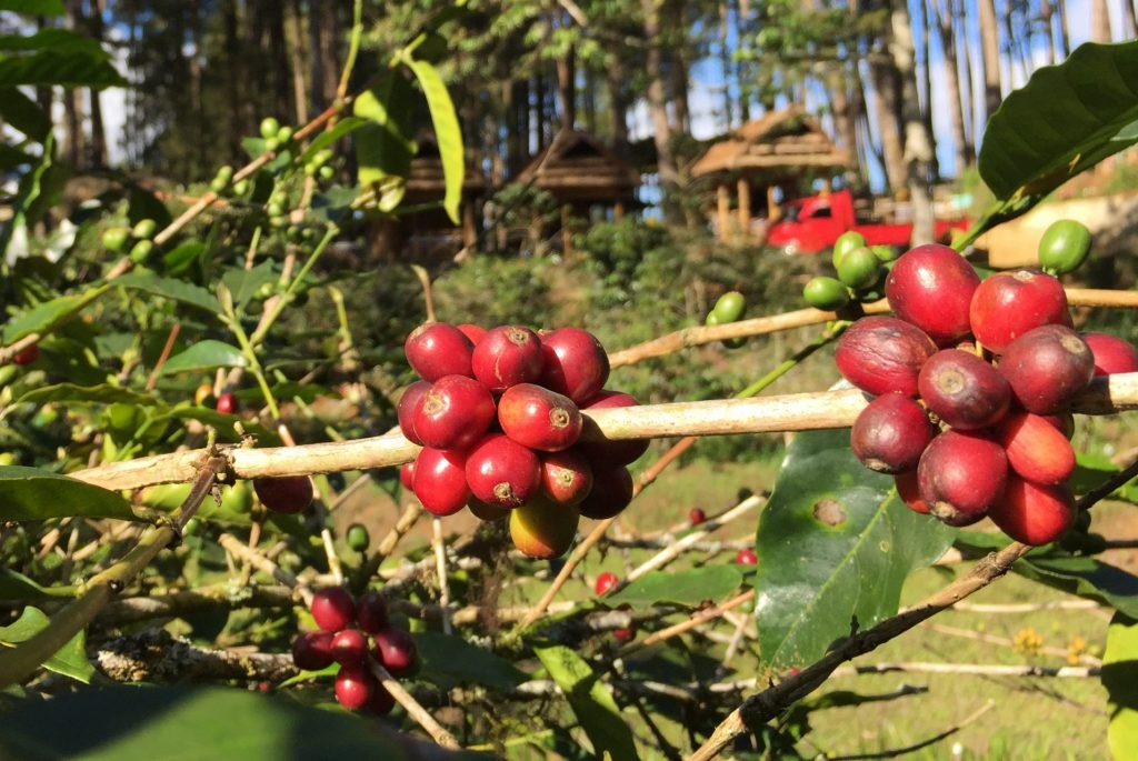 arbica coffee Toraja kopi jujur kopi asli tanpa campuran essens